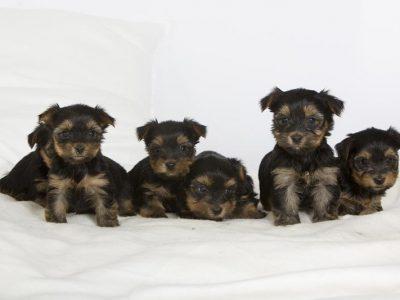 Chiot Yorkshire terrier : 2  mâles – femelle 1 245544
