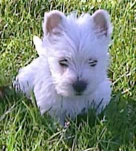 Chiot West highland white terrier : 3  mâles – femelle 0 242707