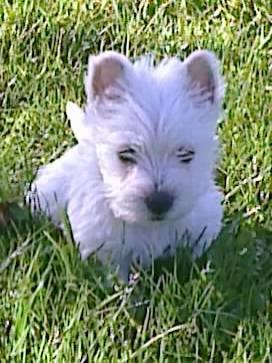 Chiot West highland white terrier : 3  mâles - femelle 0 242707