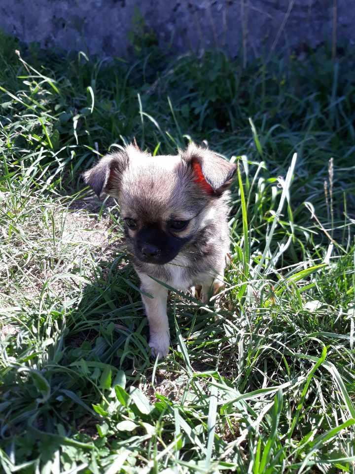 Chiot Chihuahua : 1  mâle - femelles 4 246758