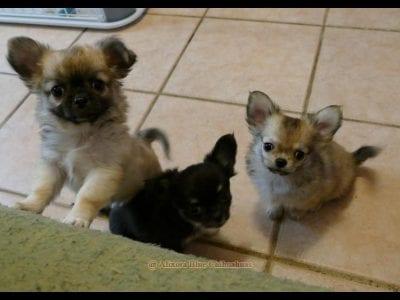 Chiot Chihuahua : 2  mâles – femelle 1 240760