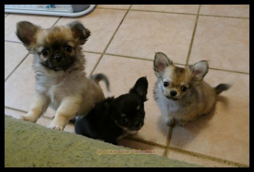 Chiot Chihuahua : 2  mâles - femelle 1 240760