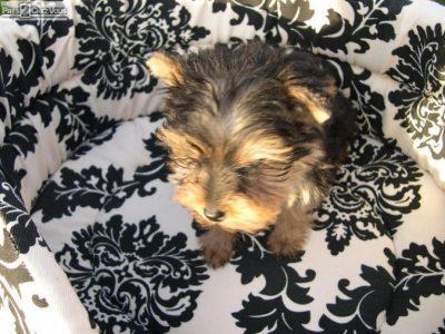 Chiot Yorkshire terrier : 1  mâle – 1  femelle 246533