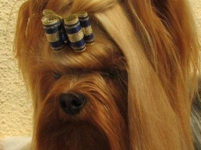 Chiot Yorkshire terrier : 2  mâles – femelle 1 238112