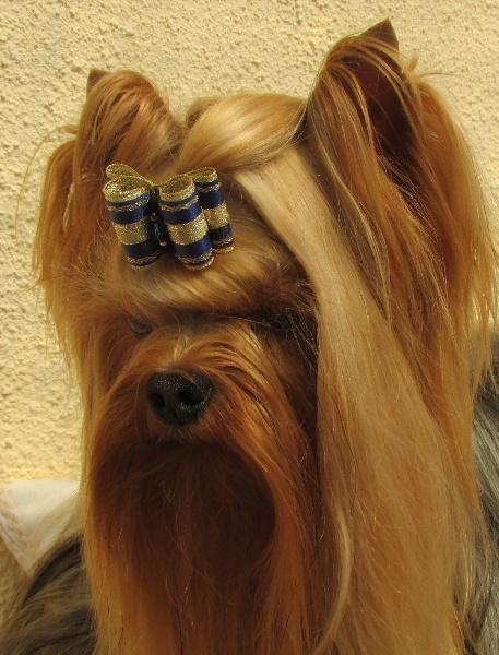Chiot Yorkshire terrier : 2  mâles - femelle 1 238112