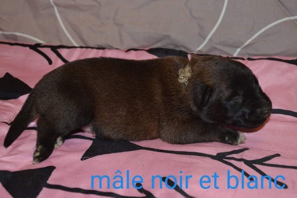Chiot Berger Belge malinois : 4  mâles – femelles 3 240845