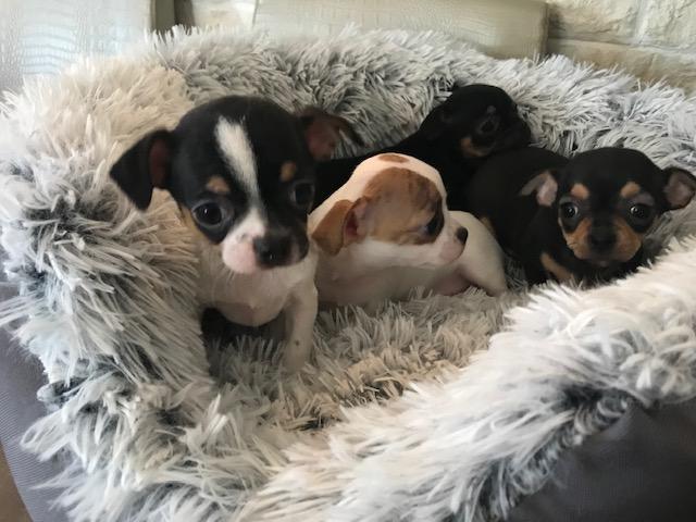 Chiot Chihuahua : 1  mâle - femelles 3 245225