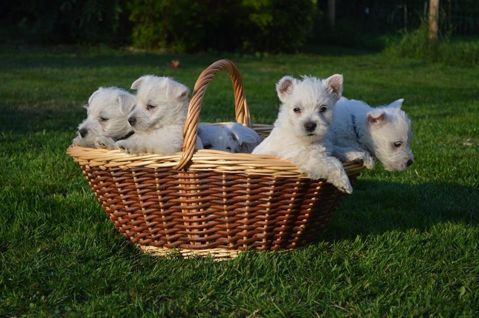Chiot West highland white terrier : 3  mâles - femelle 1 243258