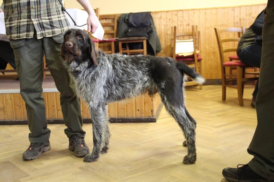 Chiot Barbu Tchèque : 6  mâles - femelles 2 243963