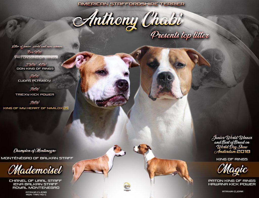 Chiot American staffordshire terrier : 2  mâles – femelles 4 243818