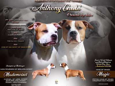 Chiot American staffordshire terrier : 2  mâles – femelles 4 243818