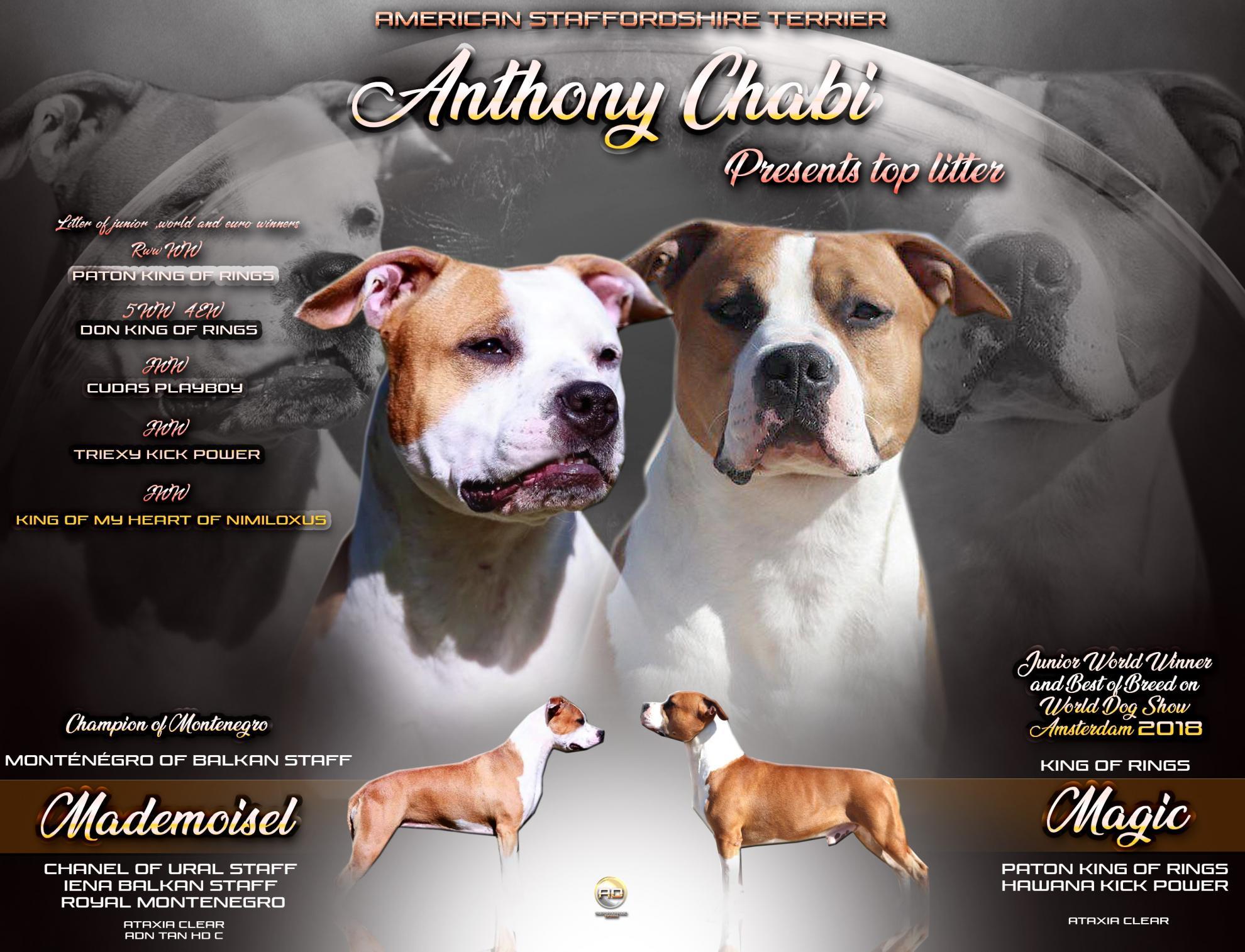 Chiot American staffordshire terrier : 2  mâles - femelles 4 243818