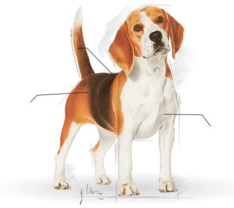 Chien beagle chien et chiot fiche de race du chien - Chien beagle adulte ...